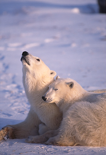 BEA 06 TL0028 01 © Kimball Stock Polar Bear Mother Huddling With Yearling Cub On Snow