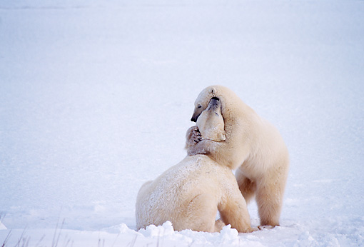 BEA 06 TL0032 01 © Kimball Stock Two Polar Bears Wrestling On Snow