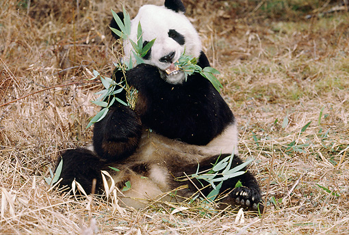 BEA 07 BA0001 01 © Kimball Stock Giant Panda Eating Bamboo Leaves