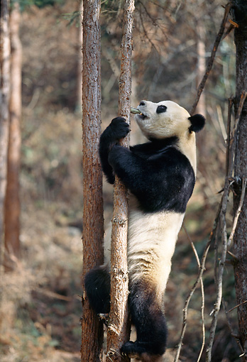 BEA 07 BA0002 01 © Kimball Stock Giant Panda Climbing Tree In Forest