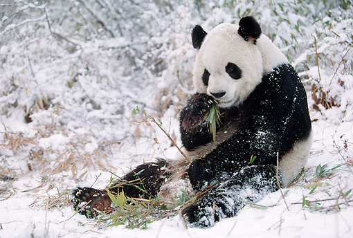 BEA 07 BA0003 01 © Kimball Stock Giant Panda Sitting In Snow Eating Bamboo Leaves