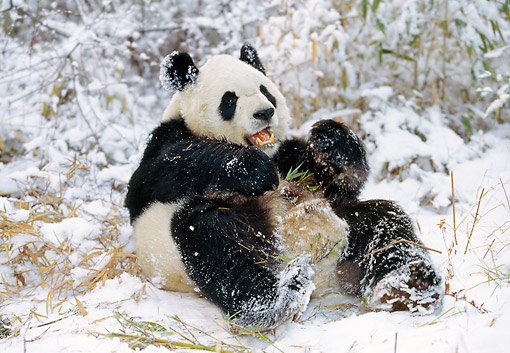 BEA 07 GL0003 01 © Kimball Stock Giant Panda Eating Bamboo In Snow At Wolong Reserve, China