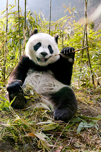 BEA 07 KH0012 01 © Kimball Stock Giant Panda Sitting In China