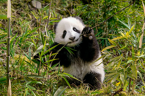 BEA 07 KH0013 01 © Kimball Stock Giant Panda Sitting In China