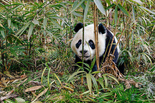 BEA 07 KH0014 01 © Kimball Stock Giant Panda Sitting In China