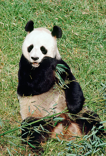 BEA 07 RK0018 04 © Kimball Stock Giant Panda Eating Sitting On Grass Eating Bamboo