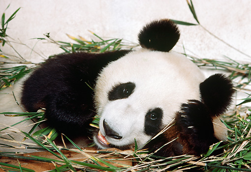 BEA 07 RK0033 01 © Kimball Stock Head Shot Of Giant Panda Laying On Leaves