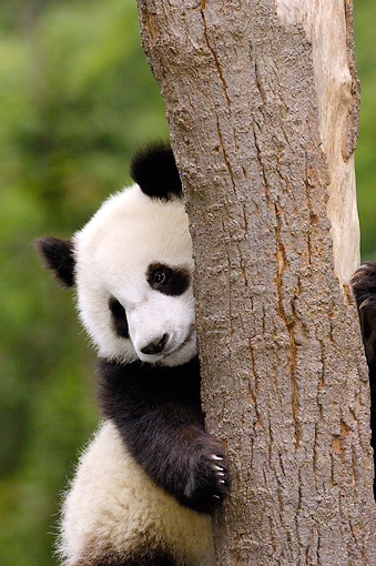 BEA 07 WF0001 01 © Kimball Stock Portrait Of Giant Panda Bear Cub Clinging To Tree Trunk