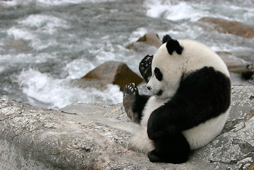 BEA 07 KH0001 01 © Kimball Stock Giant Panda Cub Sitting On Boulder By River