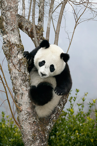 BEA 07 KH0002 01 © Kimball Stock Giant Panda Cub Sitting In Tree