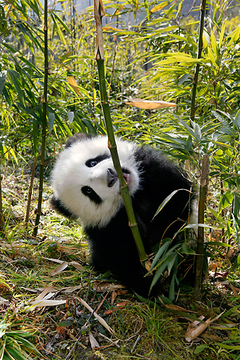 BEA 07 KH0004 01 © Kimball Stock Giant Panda Cub Sitting Eating Bamboo Shoot