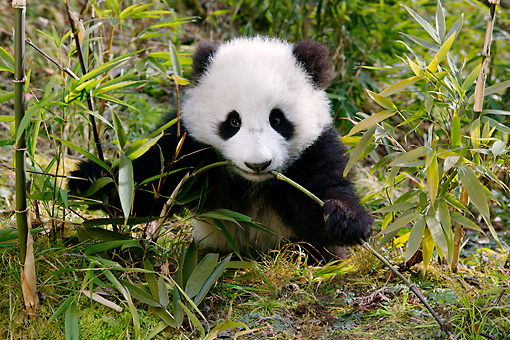 giant panda cub sitting eating bamboo shoot kimballstock