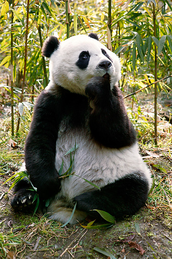 BEA 07 KH0006 01 © Kimball Stock Giant Panda Cub Sitting In Bamboo Forest Looking Up