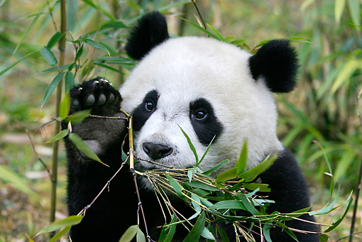 BEA 07 KH0007 01 © Kimball Stock Close-Up Of Giant Panda Cub Sitting In Bamboo Forest Grabbing Leaves