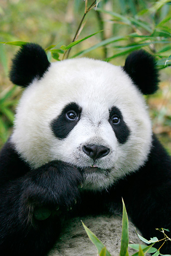 BEA 07 KH0008 01 © Kimball Stock Close-Up Of Giant Panda Cub Sitting In Bamboo Forest