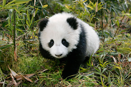BEA 07 KH0009 01 © Kimball Stock Giant Panda Cub Walking In Bamboo Forest
