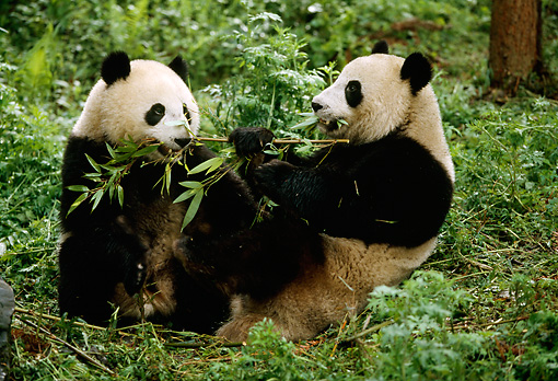 BEA 07 LS0001 01 © Kimball Stock Two Giant Pandas Eating Bamboo In Forest