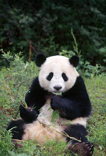 BEA 07 LS0002 01 © Kimball Stock Giant Panda Sitting Eating Bamboo Leaves