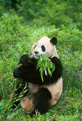 BEA 07 NE0001 01 © Kimball Stock Giant Panda Eating Bamboo In Forest China