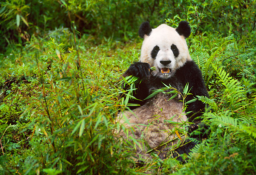 BEA 07 NE0002 01 © Kimball Stock Giant Panda Eating Bamboo In Forest China