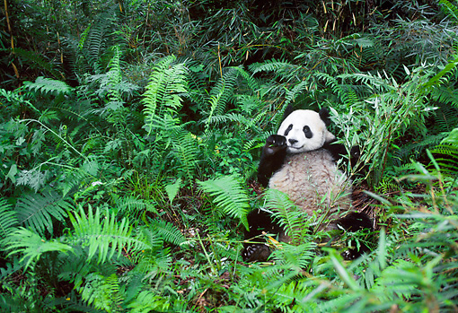 BEA 07 NE0003 01 © Kimball Stock Giant Panda Eating Bamboo In Forest China