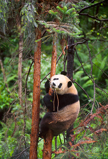 BEA 07 NE0004 01 © Kimball Stock Giant Panda Climbing Tree In Forest China