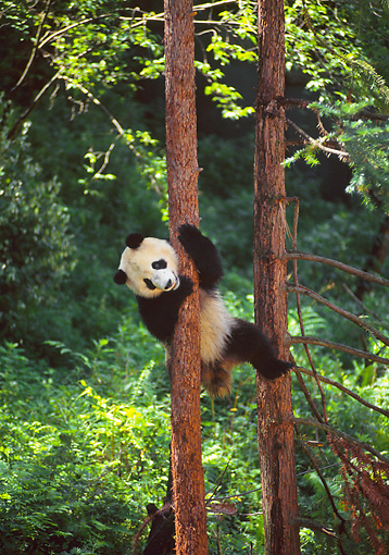 BEA 07 NE0005 01 © Kimball Stock Giant Panda Climbing Tree In Forest China