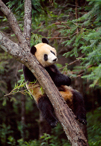 BEA 07 NE0006 01 © Kimball Stock Giant Panda Climbing Tree In Forest China