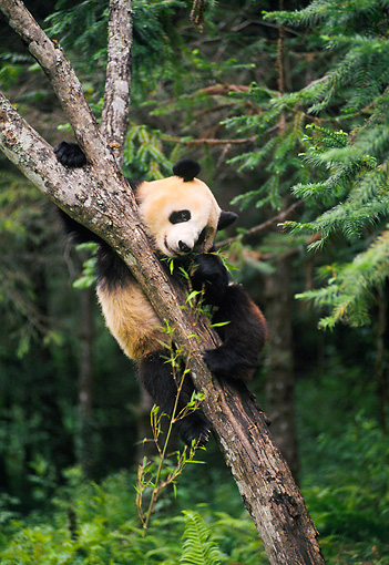 BEA 07 NE0007 01 © Kimball Stock Giant Panda Climbing Tree In Forest China