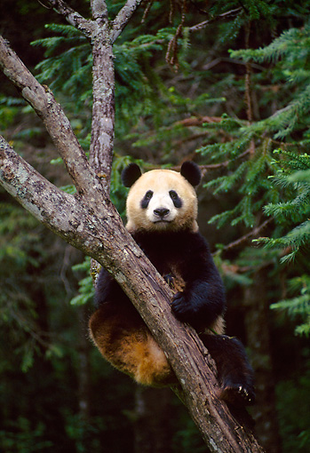 BEA 07 NE0008 01 © Kimball Stock Giant Panda Climbing Tree In Forest China