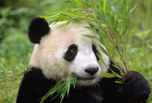 BEA 07 TL0002 01 © Kimball Stock Portrait Head Shot Of Giant Panda Eating Bamboo Leaves Central China