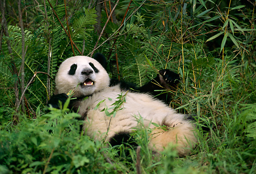 BEA 07 TL0003 01 © Kimball Stock Giant Panda Laying On Back In Bushes China