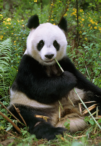 BEA 07 TL0010 01 © Kimball Stock Giant Panda Sitting Eating Bamboo China