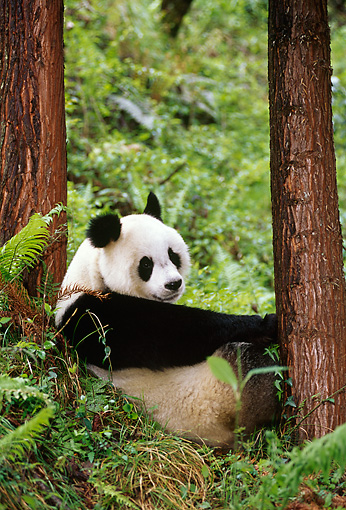 BEA 07 TL0011 01 © Kimball Stock Giant Panda Sitting By Trees Resting China