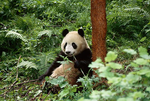 BEA 07 TL0012 01 © Kimball Stock Giant Panda Eating Shoot By Tree Trunk China