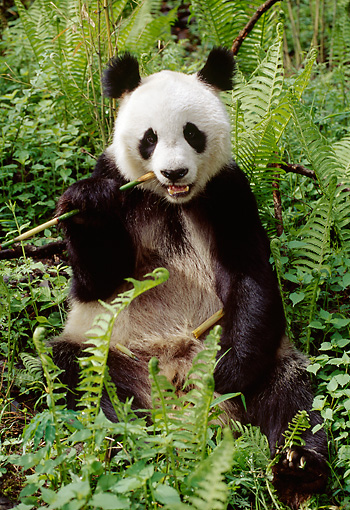 BEA 07 TL0013 01 © Kimball Stock Giant Panda Among Ferns Eating Shoot China