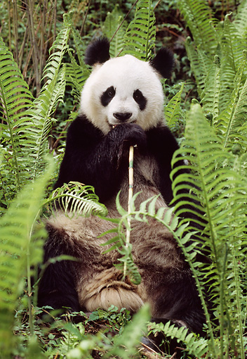 BEA 07 TL0014 01 © Kimball Stock Giant Panda Among Ferns Eating Shoot China