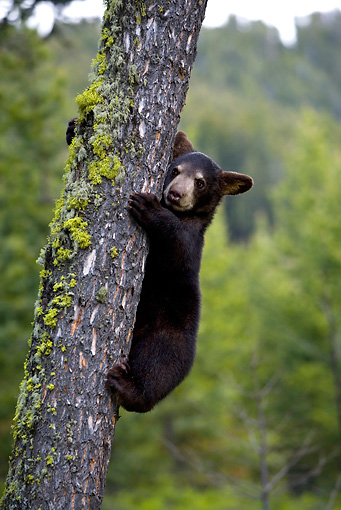 BEA 08 KH0001 01 © Kimball Stock Black Bear Cub Climbing Tree Yellowstone