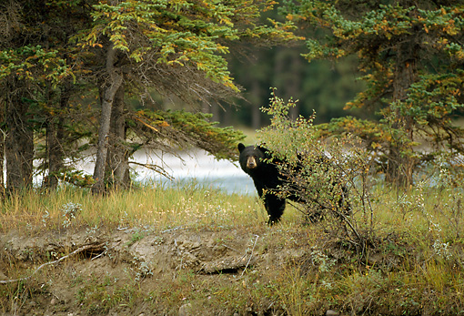 BEA 08 RF0001 01 © Kimball Stock Black Bear Standing Behind Shrub By Trees
