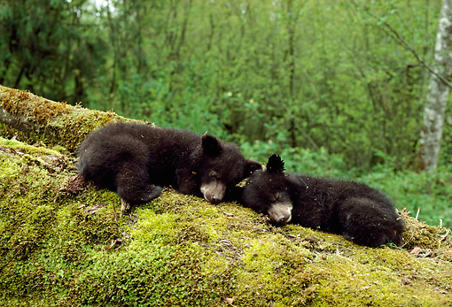 BEA 08 TK0001 01 © Kimball Stock Two Black Bear Cubs Sleeping On Moss-Covered Log In Forest