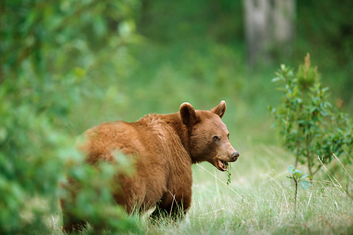 BEA 08 TL0003 01 © Kimball Stock Cinnamon-colored Black Bear Standing In Meadow