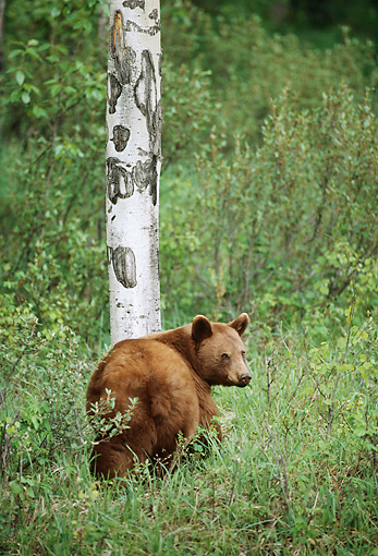 BEA 08 TL0004 01 © Kimball Stock Cinnamon-colored Black Bear Standing Near Birch Tree