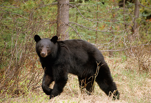 BEA 08 TL0006 01 © Kimball Stock Profile Of Black Bear Walking Through Woods