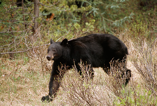 BEA 08 TL0007 01 © Kimball Stock Black Bear Trotting Through Woods