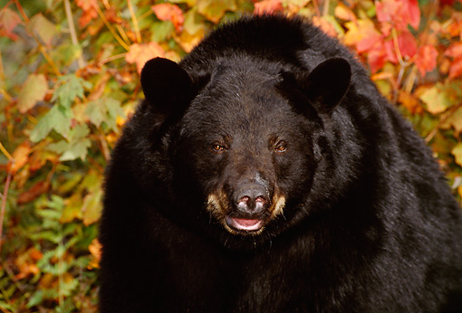 BEA 08 TL0008 01 © Kimball Stock Head Shot Of Black Bear With Autumn Colors