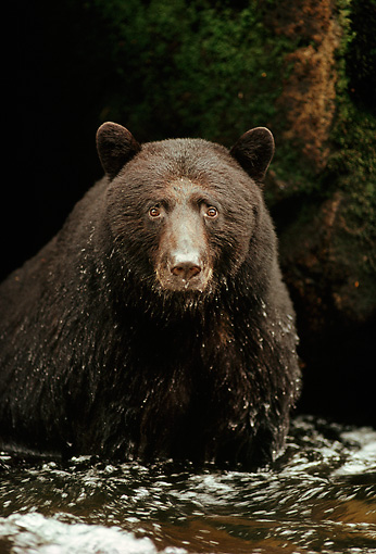 BEA 08 TL0010 01 © Kimball Stock Head And Shoulder Shot Of Black Bear Sitting In Stream
