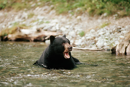 BEA 08 TL0011 01 © Kimball Stock Head Shot Of Black Bear With Mouth Open Swimming In Stream