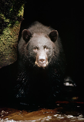 BEA 08 TL0012 01 © Kimball Stock Head On Shot Of Black Bear Standing At Edge Of Stream