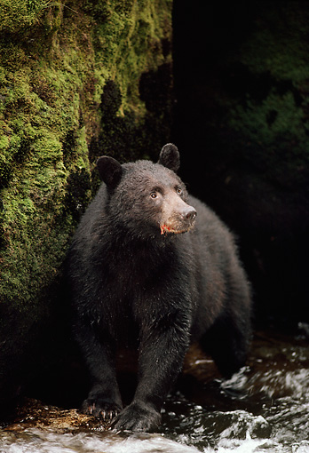 BEA 08 TL0013 01 © Kimball Stock Portrait Of Black Bear Standing At Edge Of Stream