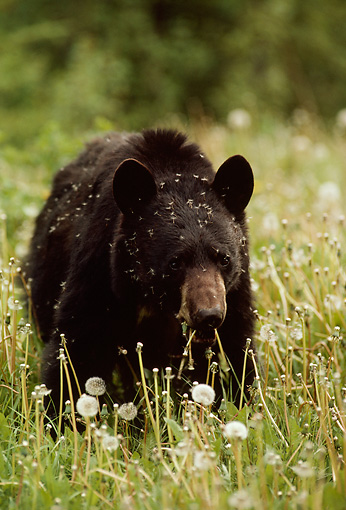 BEA 08 TL0015 01 © Kimball Stock Head On Shot Of Black Bear Standing In Meadow Eating Dandelions